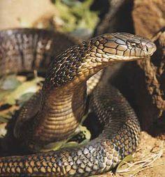 Crawling Animals, King Cobra Snake, Cobra Tattoo, Spiders And Snakes, Snake Venom, Snake Art, East Of Eden, Animals Of The World, Animals Planet