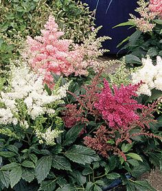 Astilbe (partial sun...in the South they prefer light shade/morning sun)