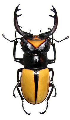 1000+ ideas about Beetle Insect on Pinterest | Beetle, Caterpillar ...