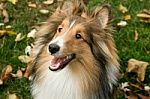 Dogs Pictures - SHELTIE