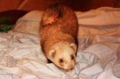 Great tips about making a ferret cage smell less :D