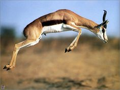 Stotting is a specific step used by gazelles when being chased by predators. It includes a high, stiff-legged jump that actually slows the gazelle down, increasing their risk of being caught, but it acts s a boast of the gazelle's great fitness. Most cheetahs will break off a hunt when a gazelle stots.