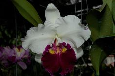 OrchidTalk Orchid Forums - Grow Orchids!