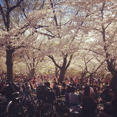 cherry blossoms in High Park #Toronto - instagram by Owen McCabe