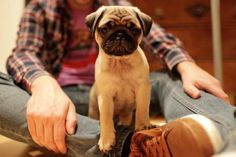 Little pug by may