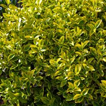 Euonymus Fortunei Plant - Emerald 'N' Gold