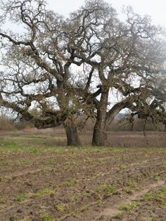 Preparing fields for spring planting in view of grand mother oak.