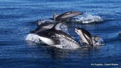 Off the coast of San Diego, a pod of Pacific White Sided Dolphins