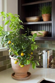 Gardening Indoor lemon_tree_care_photo_by_LaurenLiess - Scared of bringing citrus indoors? Fear no more. Here, an expert dishes on how to care for your citrus trees inside, because why shouldn't you be able to enjoy fresh lemonade whenever you want? Hanging Plants, Indoor Plants, Indoor Plant Decor, Ficus Tree Indoor, Best Indoor Trees, Indoor Ferns, Hanging Baskets, Container Gardening, Gardening Tips