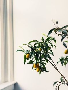 7 Types of Fruit Trees You Can Grow in Your Living Room Indoor Fruit Trees, Indoor Lemon Tree, Indoor Flowering Plants, Potted Plants, Bonsai Fruit Tree, Plants In Living Room, House Plants, Types Of Houseplants, Kumquat Tree