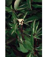 Red Twig Dogwood (Cornus alba Sibirica) - Monrovia