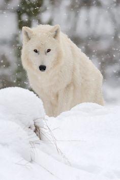 Arctic Wolf  (by Uwe Logemann on 500px)