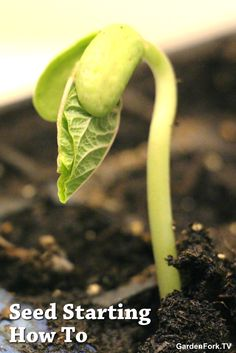 Seed Starting Tips: 1. use a seed starting mix, not garden soil 2. keep the soil slightly dry, not too damp 3. use grow lights and keep the lights directly on top of the seedlings, its ok if the plants touch the bulbs. that close, yes.