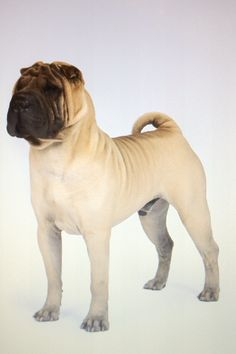 """The Shar Pei, or Chinese Shar-Pei, is a breed of dog known for its distinctive features of deep wrinkles and a blue-black tongue.  The name translates to """"sand skin"""" and refers to the texture of its short, rough coat. As puppies, Shar Pei have numerous wrinkles, but as they mature, these wrinkles loosen and spread out as they """"grow into their skin"""". Shar Pei were named in 1978 as one of the world's rarest dog breeds."""