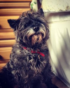 Greetings my furry friends how are you all coping with the lockdown? Cairn Terriers, Cairns, Dog Portraits, Sketching, Portrait Photography, Cute Animals, Friends, Dogs, Instagram