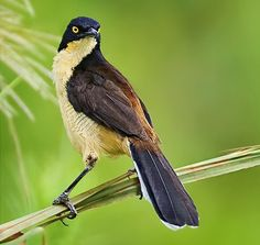 The Black-capped Donacobius (Donacobius atricapilla) is a conspicuous, vocal South American bird. It is found in tropical swamps and wetlands in Argentina, Bolivia, Brazil, Colombia, Ecuador, French Guiana, Guyana, Paraguay, Peru, Suriname, and Venezuela; also Panama of Central America.[1]