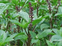 Thai Basil {Ocimum basilicum}