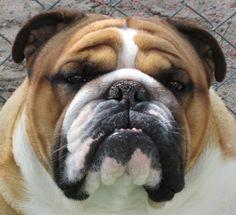 Lottabull Bulldogs - English bulldog puppies reputable breeder