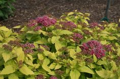 DOUBLE PLAY(TM) GOLD SPIRAEA PP21615 Bright gold foliage covers this compact plant. Pure pink flowers in spring are a perfect contrast to the foliage. This Spiraea, which grows to 16-24 inches tall, will add sparkle to any landscape.