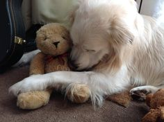 Golden and his special teddy