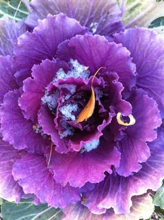 Ornamental cabbage share by Ari #beautifulworld