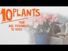 ~ Top 10 Common Plants Poisonous to Dogs