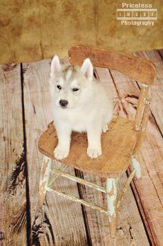 #huskypuppies #reno #petphotography #northhillsvetclinic #dogs #pricelessimagephotography