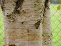 Betula papyrifera Paper Birch, Mountain paper birch, Kenai birch