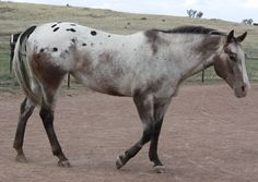 """Some of the horses at my friends Agistment place """"Arundel Park"""" Horse 117 Leopard Appaloosa, Appaloosa Horses, Zebras, Horse Markings, Horse World, Horse Quotes, Horse Breeds, Horse Photography, Horse Love"""