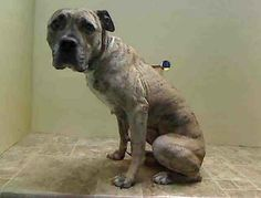 Brooklyn Center PRETTY - ID#A0990558 I am an unaltered female, brown brindle Mastiff mix. The shelter staff think I am about 3 years old. I was found in NY 11413. I have been at the shelter since Jan 28, 2014. https://www.facebook.com/photo.php?fbid=748804498465765&set=a.617941078218775.1073741869.152876678058553&type=1&theater