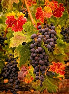Autumn harvest of grapes on the vine. Ready to be transformed into delicious wine.