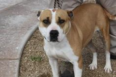 Emmy is an adoptable Boxer Dog in Sierra Vista, AZ. Emmy and her 6 children were abandoned and starving on the streets. We have put some weight on her and all the kids. She is now looking for a bran n...