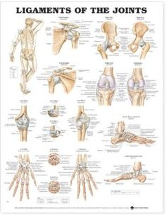 Ligaments of the Joints Anatomical Chart:Amazon:Books