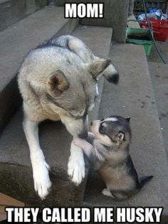But... I'm just a little husky... ;-) #dogs #humor