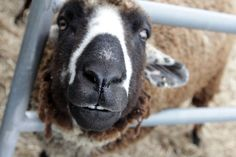 "A very happy ""Woody"" from Punkin's Patch at Equinox Farm in Kentucky during the 2015 Hug A Sheep Party.  Mom/Shepherdess Sara Dunham blogged ""This is why Woody is getting so many cookies and hugs.  Teefers!"""