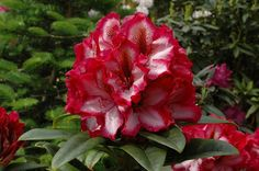 Thank you for taking a look at one of our several hundred Hybrid Rhododendrons we have for sale on Etsy and our website! At RhododendronsDirect.com, all we do is Rhododendrons!    Product Description    Bloom Color: Red and White    Bloom Season: Mid-Season to Late Mid-Season    Plant Height(potential in 10 years): Five Feet    Hardy to:  -5        Container Size/Age:  Five Gallon Plant -  These rhododendrons are typically rooting into a five gallon container or have spent two or more years…