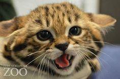 世界最小種の猫「クロアシネコ」が可愛い!