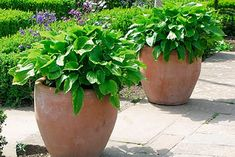 Pots with hostas Outdoor Spaces, Outdoor Living, Bouquet Photography, Inside Outside, Garden Inspiration, Garden Ideas, Container Gardening, Indoor Plants, Outdoor Gardens