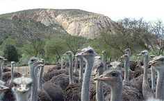 Our facilities Ostriches, Farms, South Africa, Camel, Flora, Wanderlust, African, Tours, Spaces