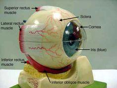 classroom.sdmesa.edu anatomy images Nervous_label Eye_2_label.jpg