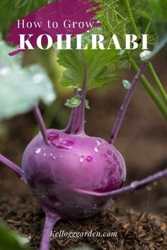 The kohlrabi plant is a fast-growing and often overlooked treasure to grow in the vegetable garden. Let's uncover the mystery of growing kohlrabi, providing planting and care tips so that you too can join the kohlrabi growing frenzy. #kohlrabi #vegetablegardening #gardenersofpinterest #kohlrabicare Garden Tips, Garden Ideas, Home And Garden, Vegetable Gardening, Container Gardening, Growing Veggies, Homestead Living, Organic Living, Organic Vegetables