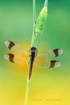 F: Libellulidae