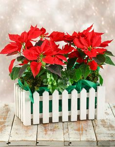 Buy Poinsettia Picket Fence Online - NetFlorist Poinsettia, Fence, Christmas Gifts, Seasons, Gift Ideas, Plants, Stuff To Buy, Xmas Gifts, Christmas Presents