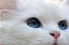 Google Image Result for http://favim.com/orig/201107/31/animal-blue-cat-cute-funny-Favim.com-117923.jpg