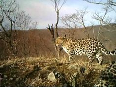 Amur leopards caught on camera