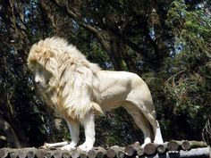 white lion | White Lion at the Seaview Game & Lion Park - 9 Wows