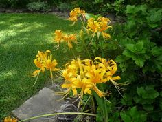 2 Bareroot Yellow Surprise Lily/ Resurrection by DaylilyNursery Plants, Bulb, Lily, Fall Bulbs, Garden