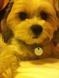 Meet Meg. My adorable Maltese Shih Tzu :)