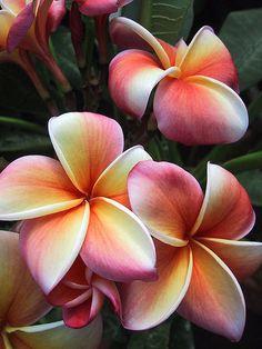 I want this as my wedding flower. Frangipani