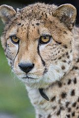 Portrait of one of the cheetah brothers (Max or Moritz, I cannot distinguish them really), more pics of them to come! Beautiful Cats, Animals Beautiful, Cute Animals, I Love Cats, Big Cats, Big Cat Family, Small Wild Cats, Silverback Gorilla, San Diego Zoo